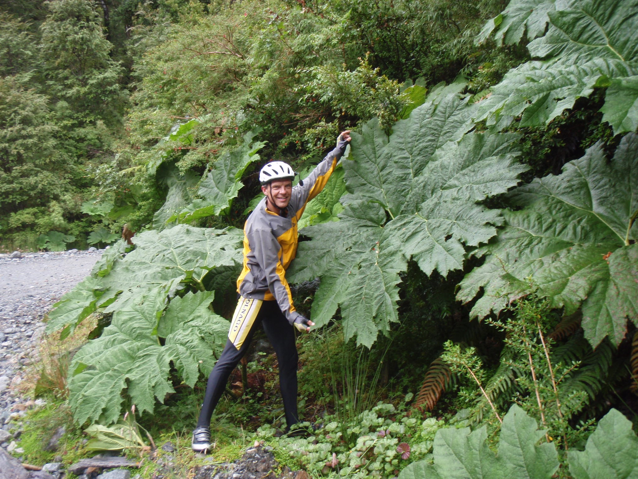 Huge leaf of Nalca plant along pass road on Carreterra Austral
