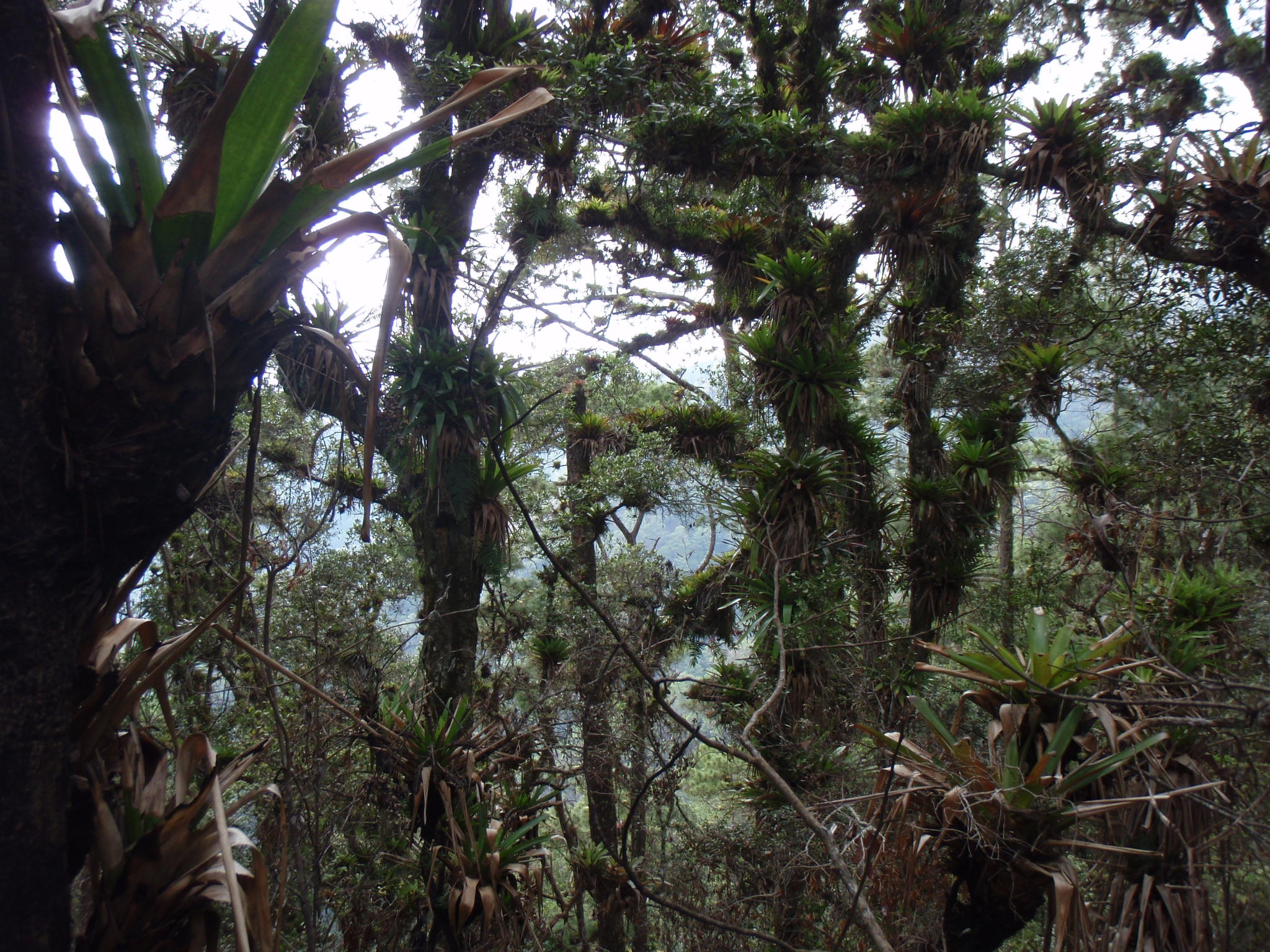 Ascent through dense cloud forest in Celaque National Park up to Cerro Las Minas
